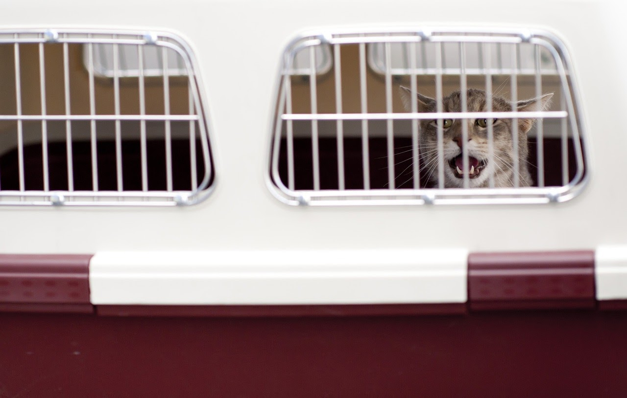 An adopted cat meows from inside a cat carrier.
