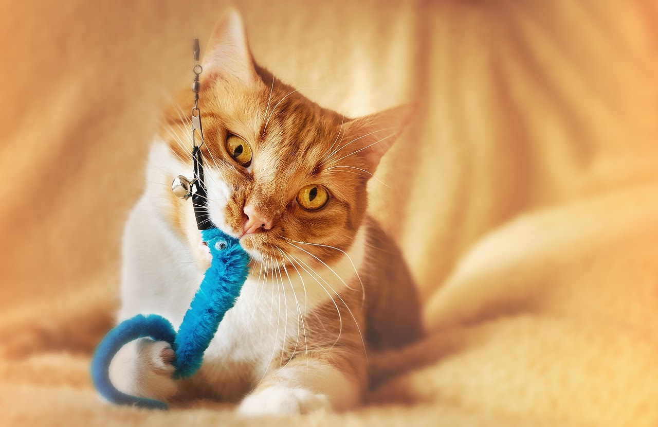 An adopted cat plays with a fuzzy blu cat toy.