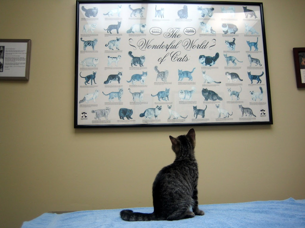 An adopted cat studies a cat poster at the veterinarian.