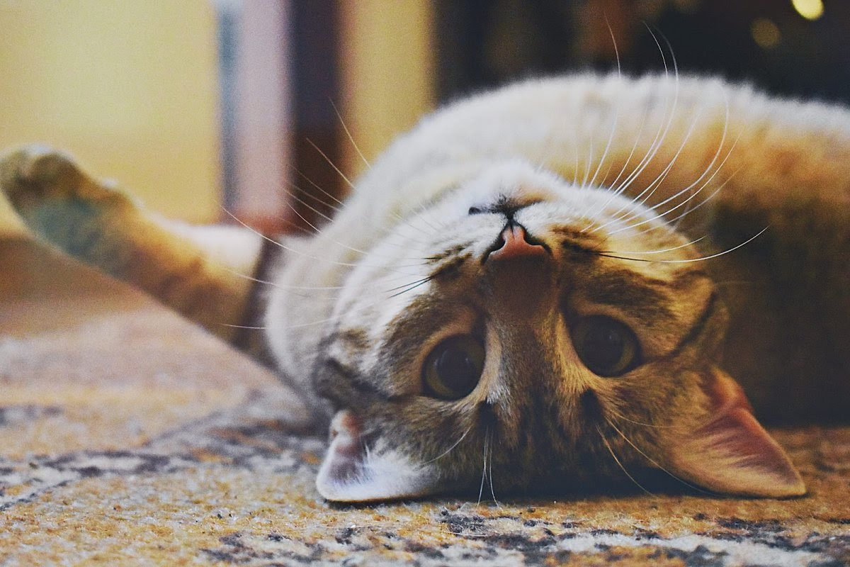 A cat stares at the camera playfully while laying on its back.