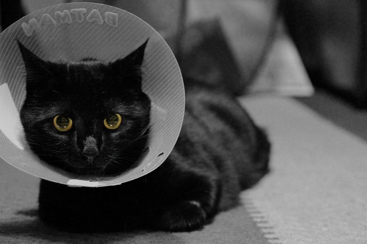 A cat in an Elizabethan collar
