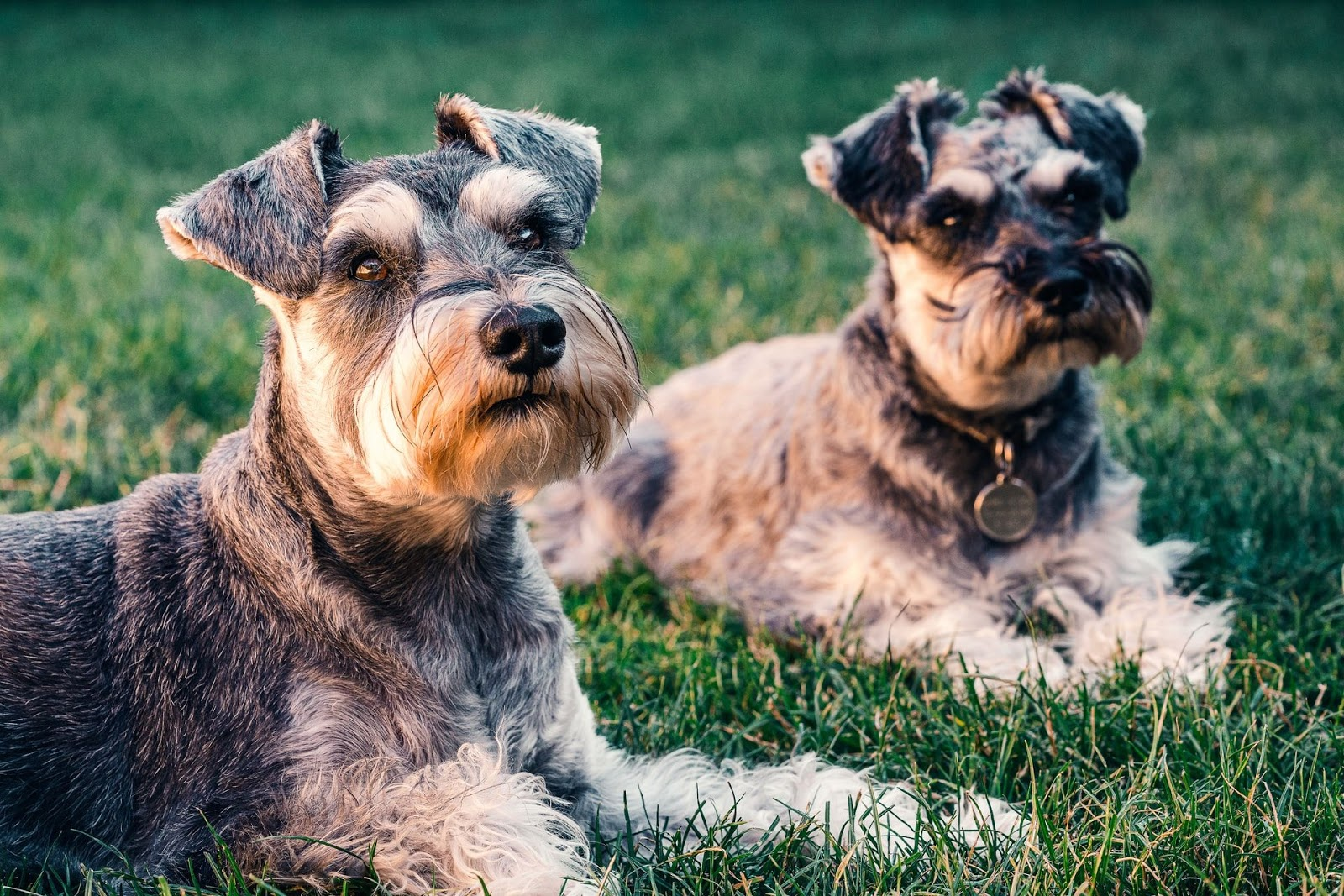 Two terriers sitting in the grass