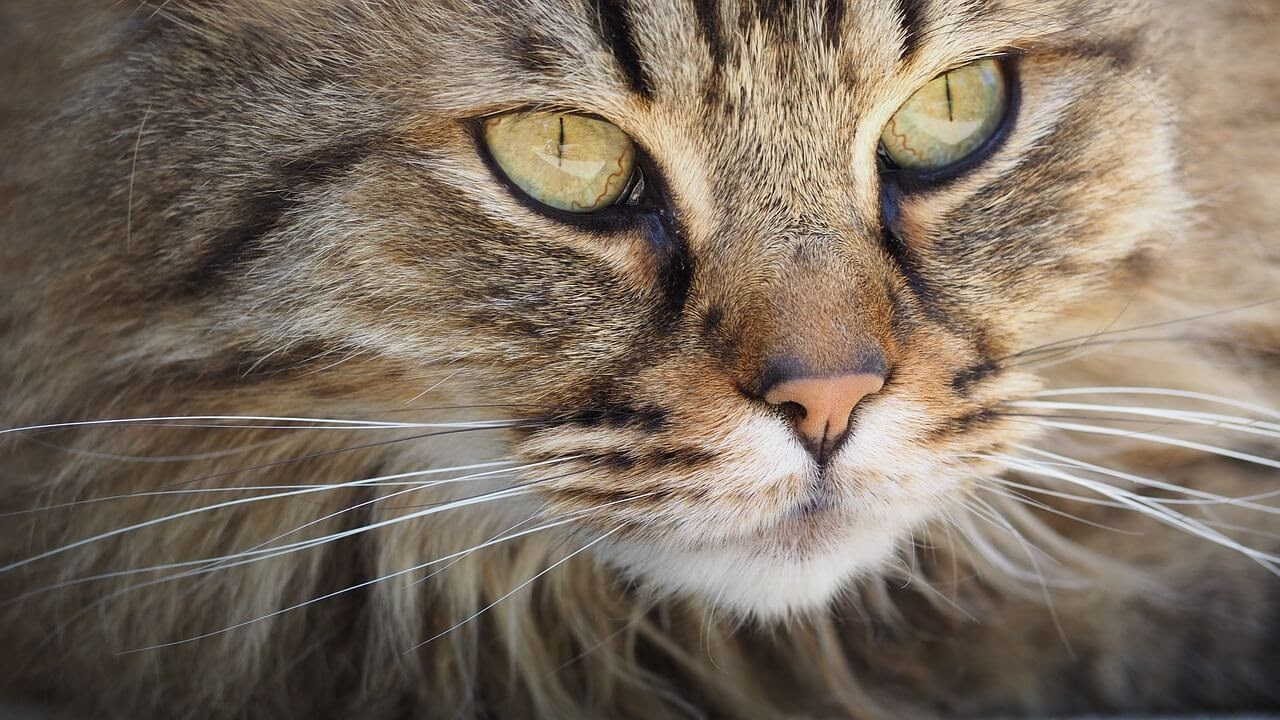 A close up of a cat without dander looking next to the camera.