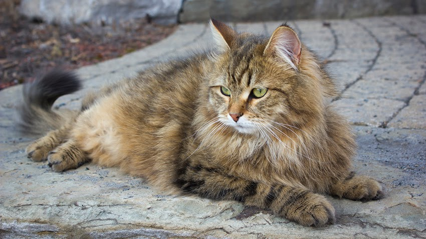 A Siberian cat lays outside and enjoys the fresh air.