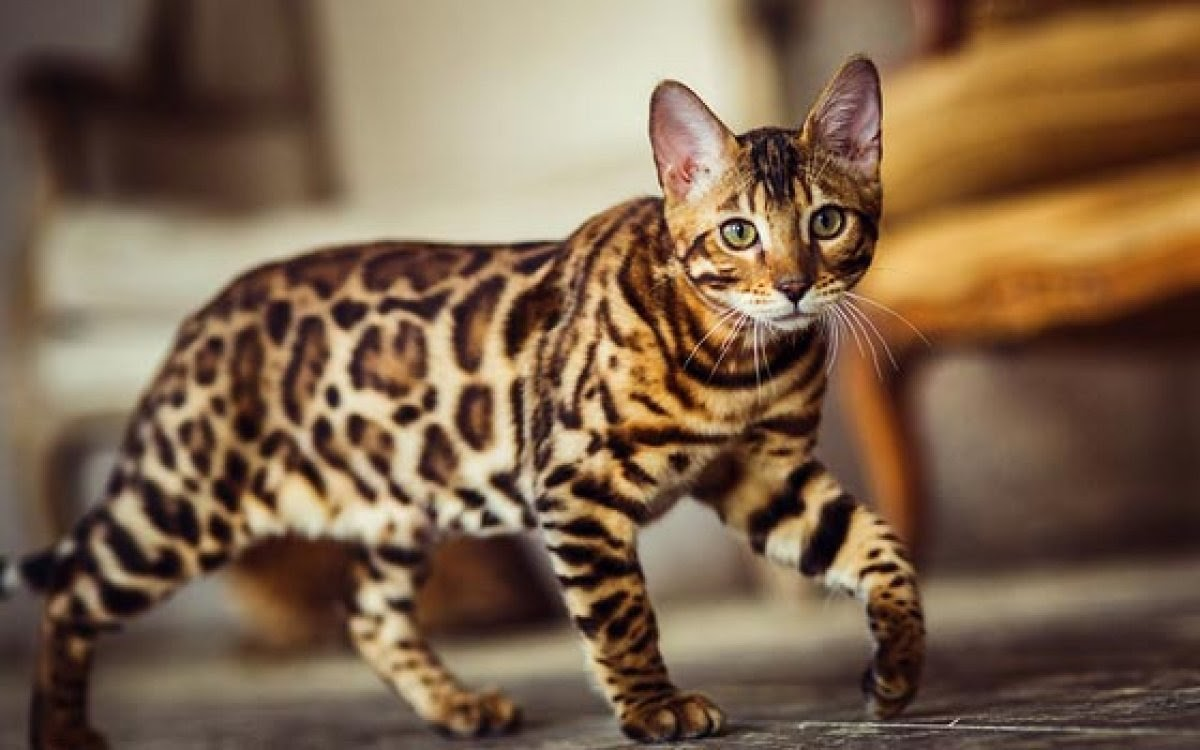 A Bengal cat walks across its family's living room.