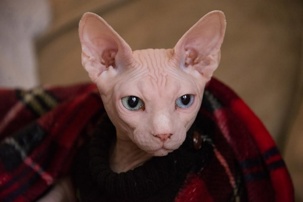 A hairless Sphynx sits wrapped in a blanket while looking at its owner.