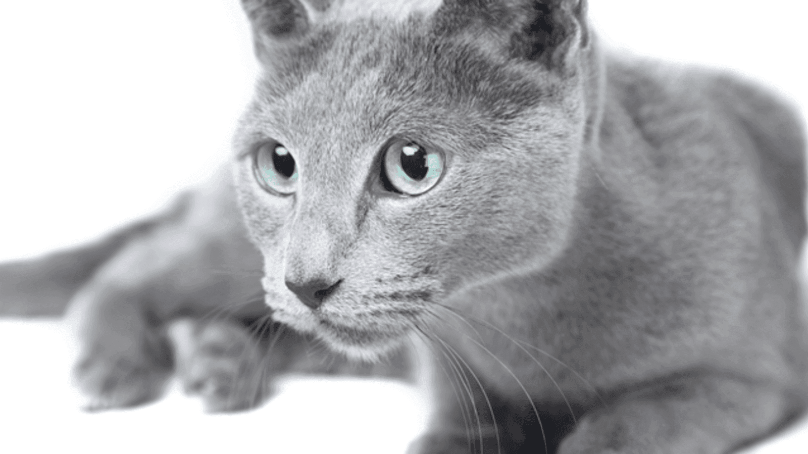 A Russian Blue cat stalks after its toy.