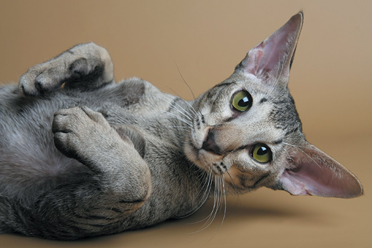 An oriental cat lays on its side in front of a brown backdrop.