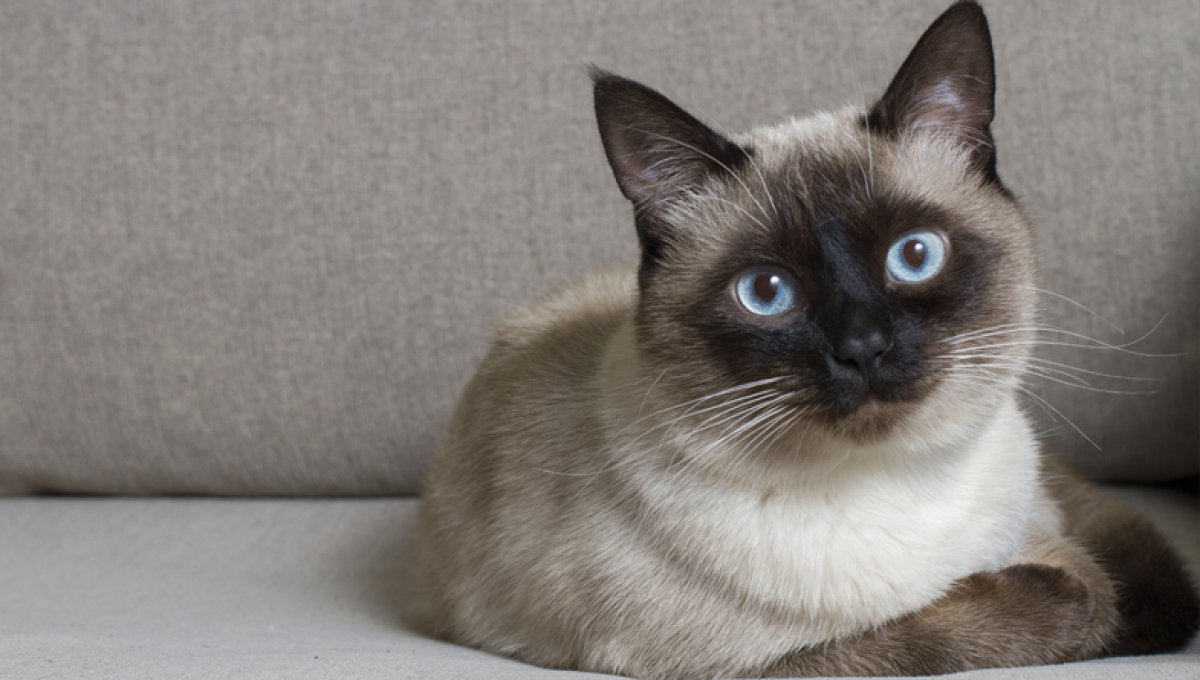 A siamese cat lies down on a gray couch.