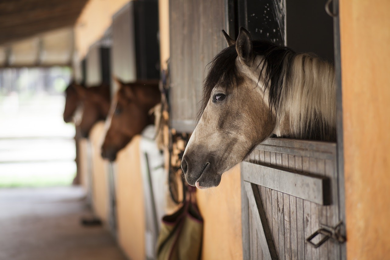 A few horses look out of their stall windows in a horse barn.