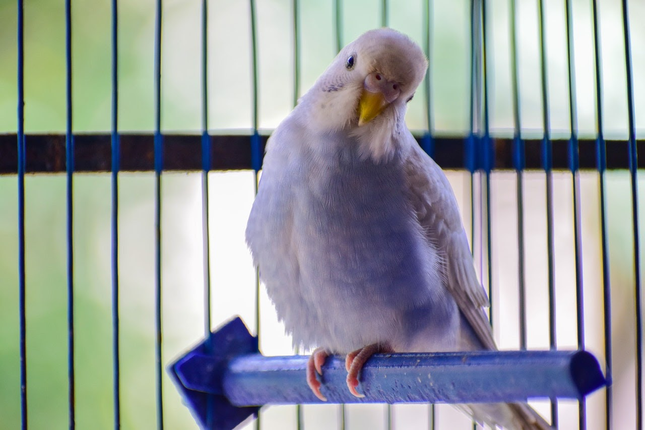 A small white bird perched in a cage