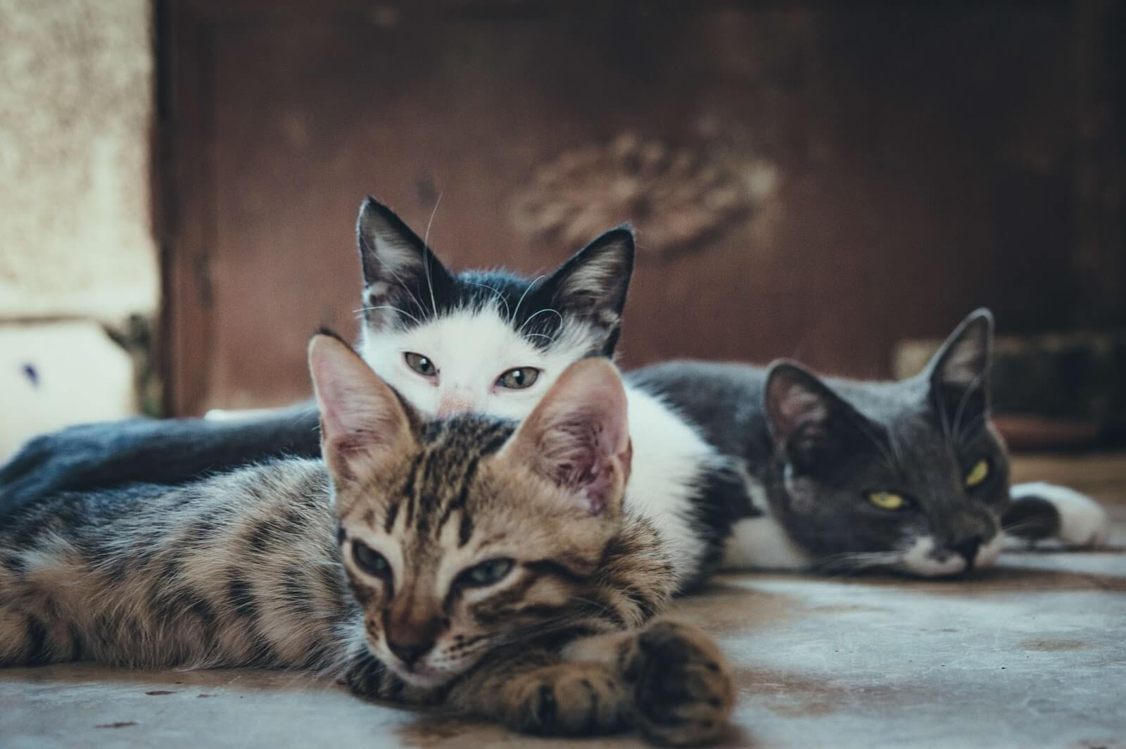 Three cats laying down