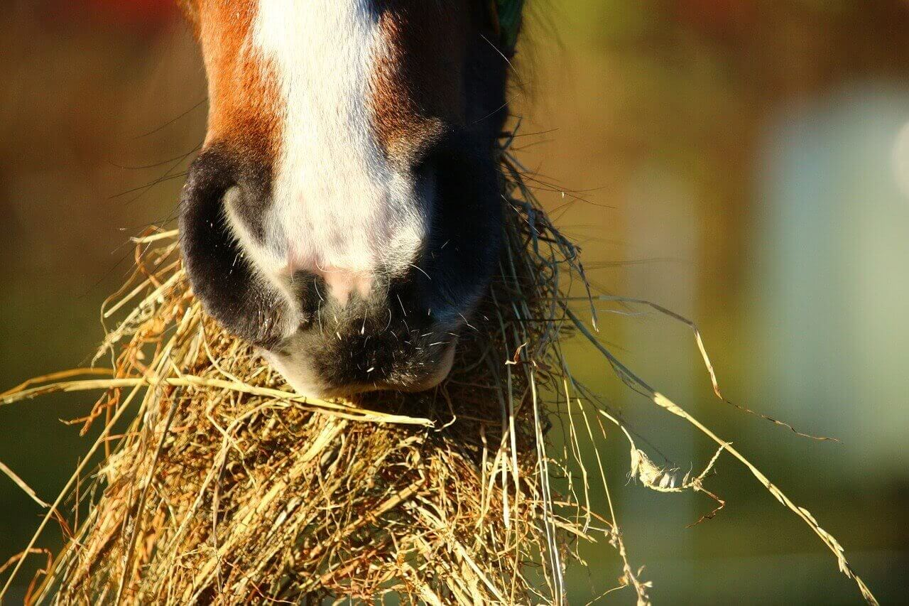 A horse eating a mouthful of hay