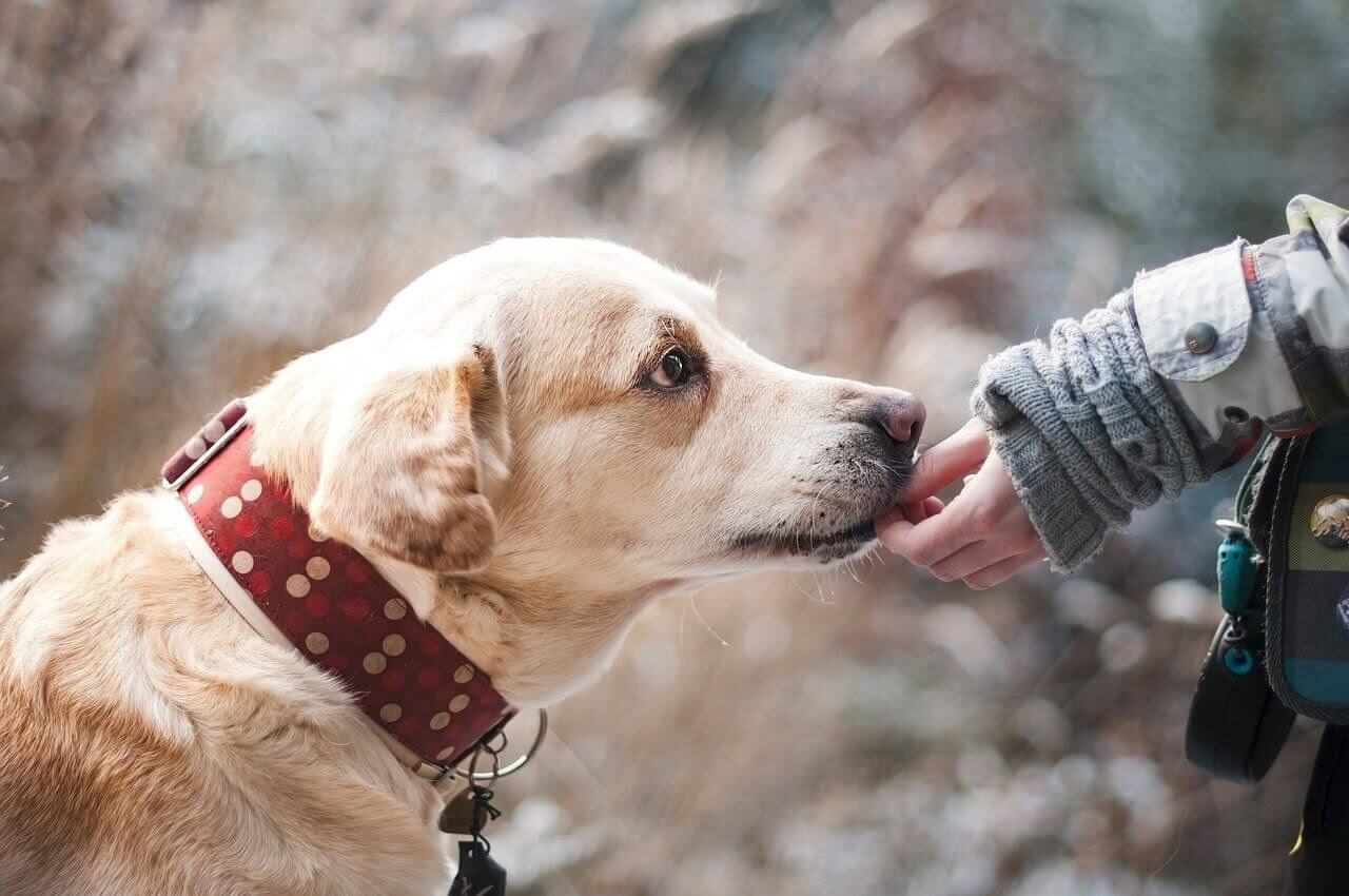 A dog gets a treat from a person's hand
