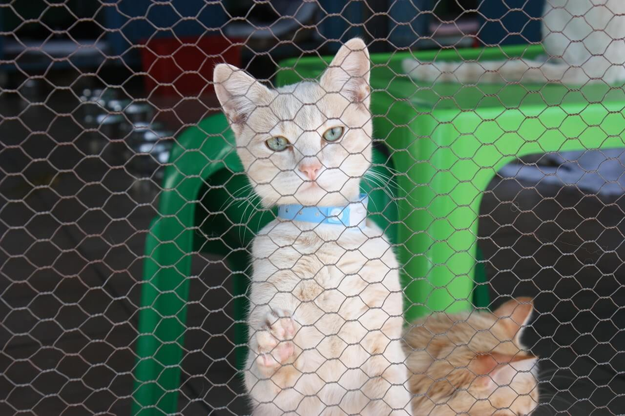A cat waiting to be adopted stands up against the fence in a shelter.
