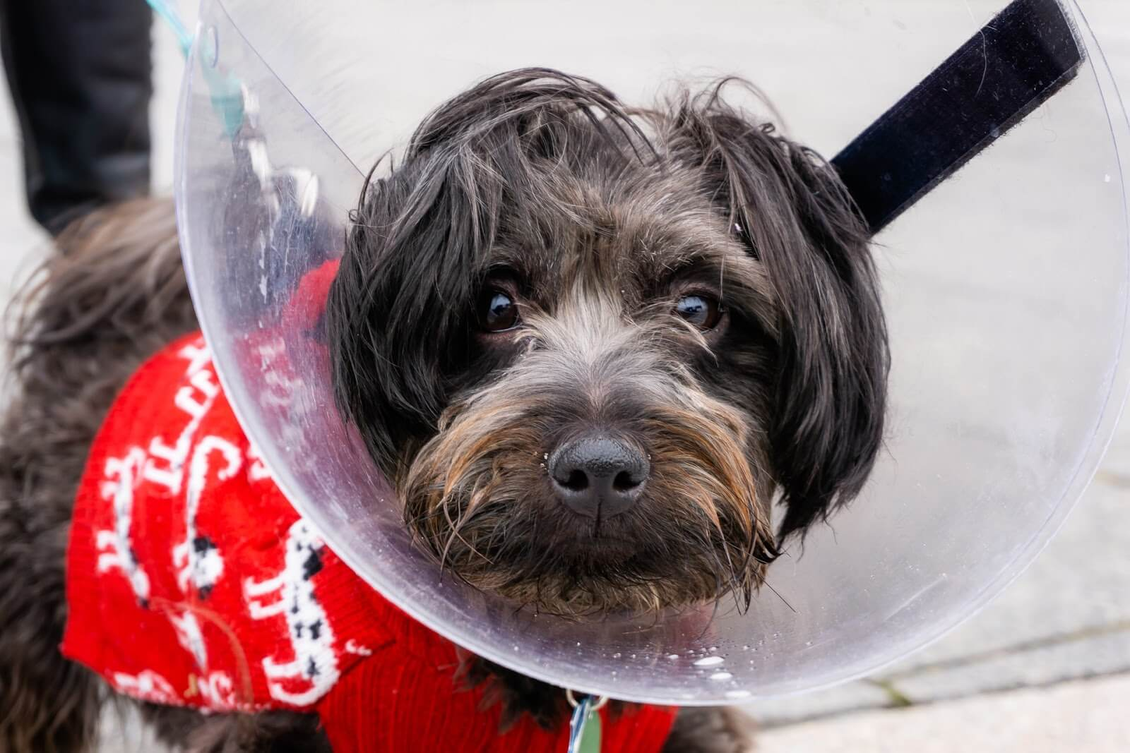 A dog in a sweater and cone