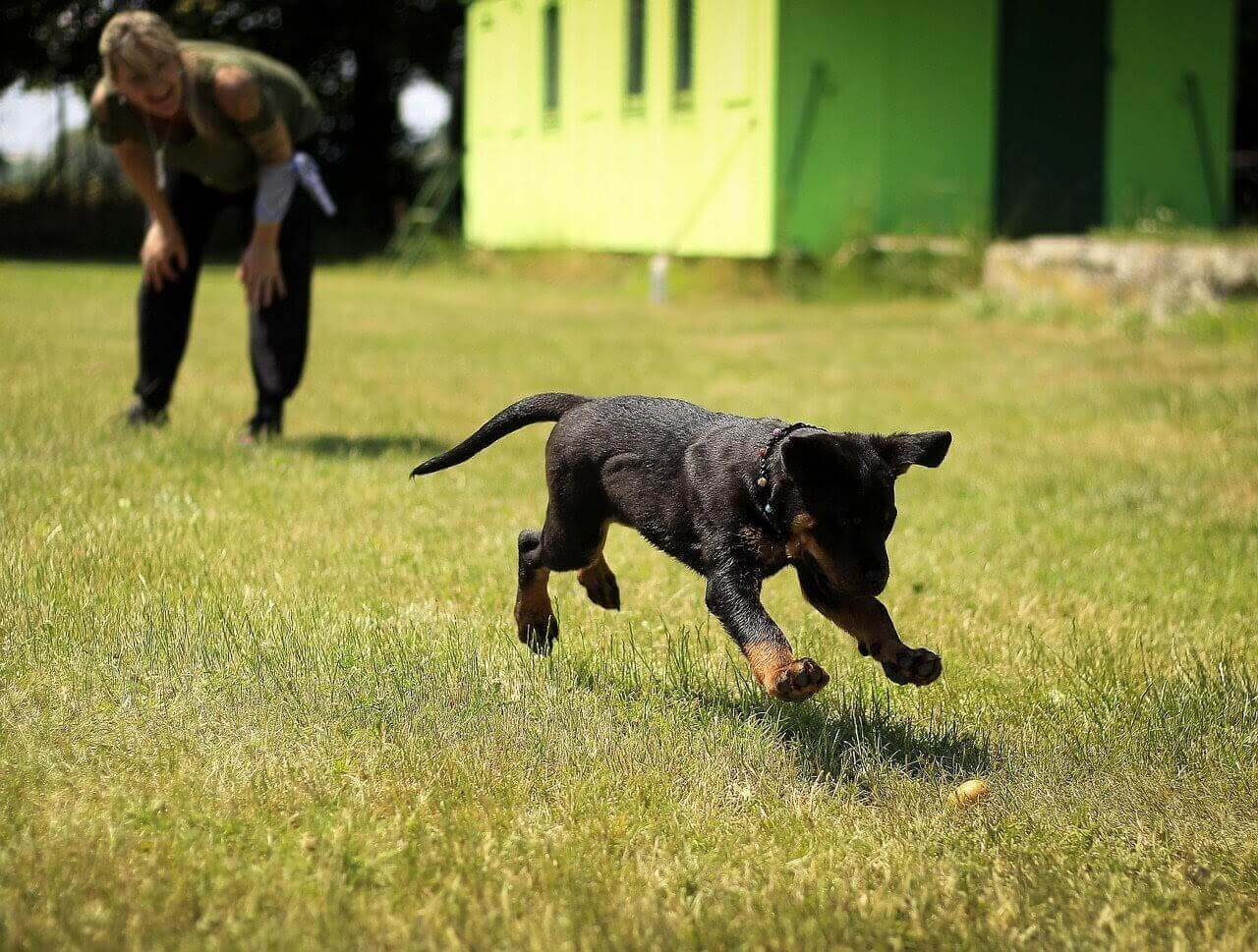 A woman watches a puppy lunging at a ball in a field