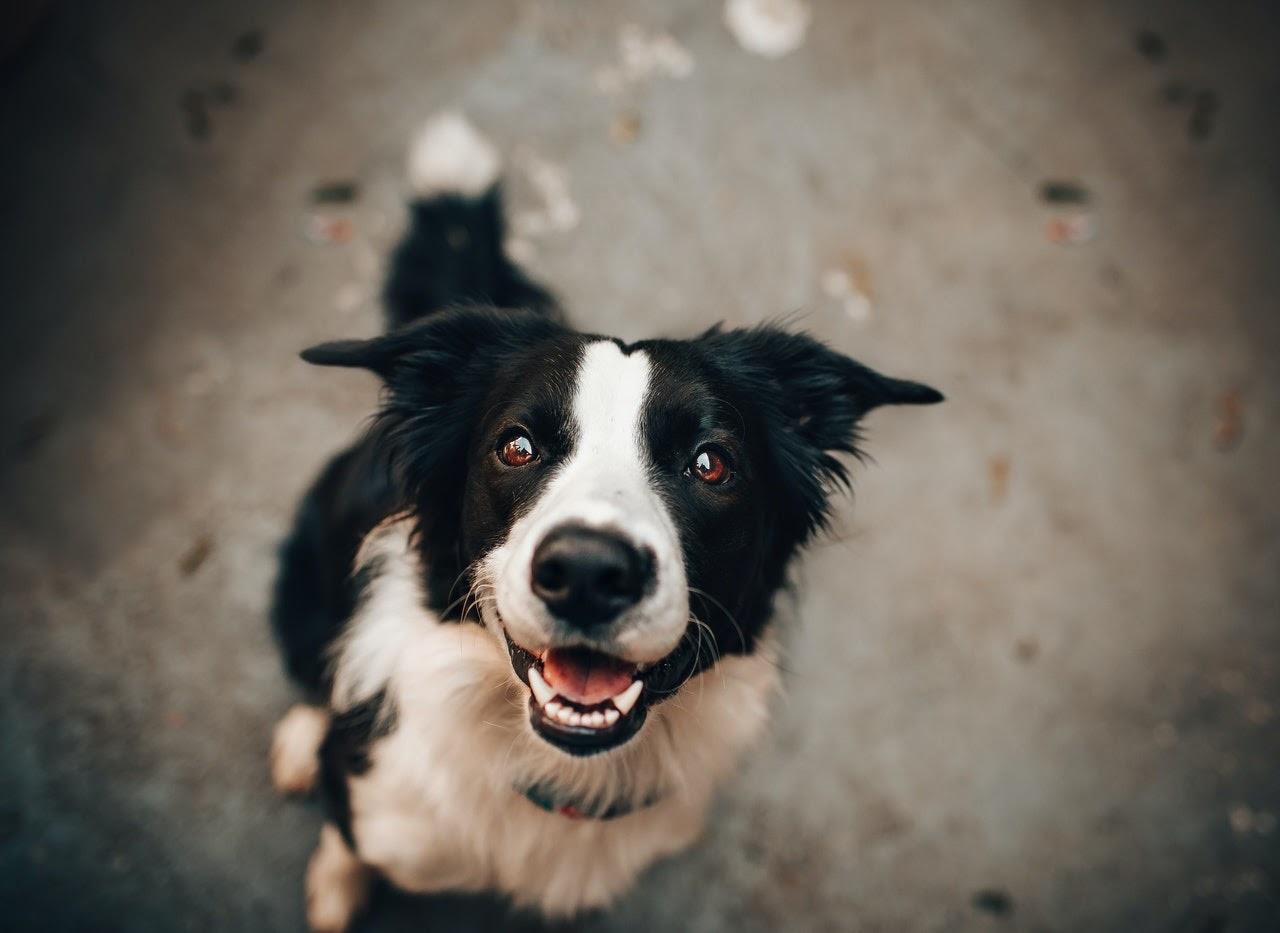 Black and white dog closeup