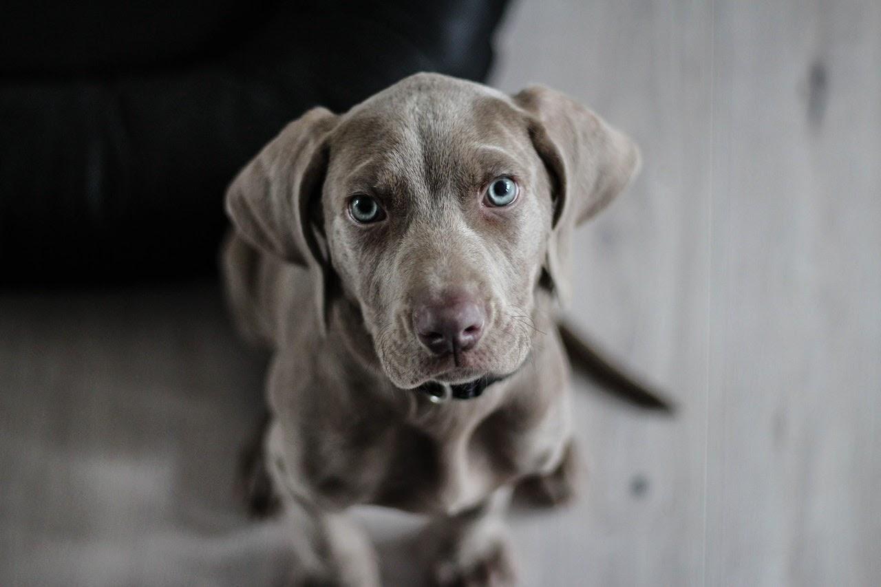 Light brown puppy