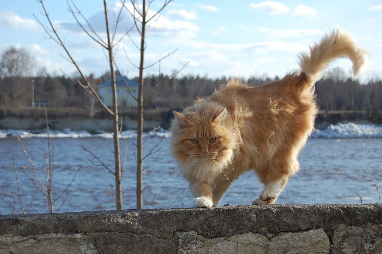 A fluffy cat with a healthy tail walks on a stone ledge.