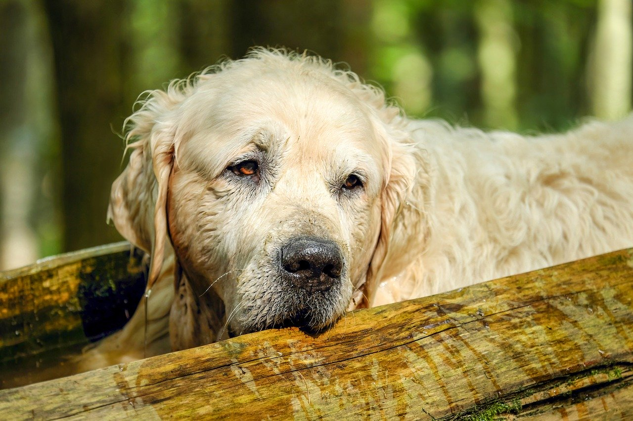 What's Causing Hair Loss In Your Aging Dog?