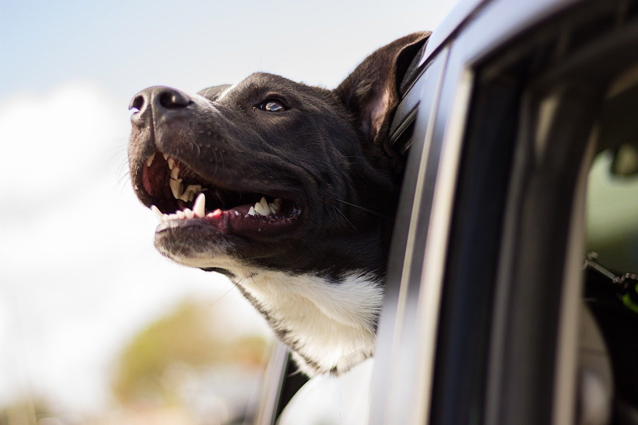 A dog on a road trip sticks his head out the window.
