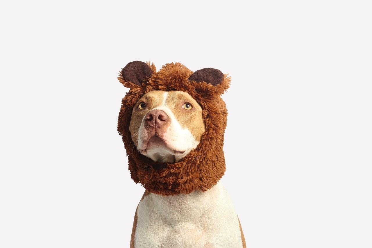 A dog wears a hat giving him bear ears for Halloween.
