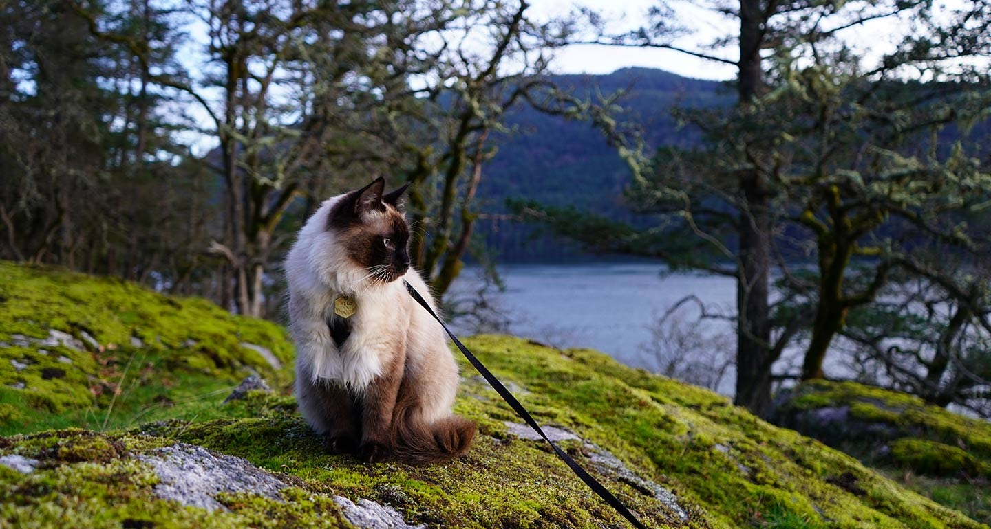 Cat on a leash sitting on a mossy hill