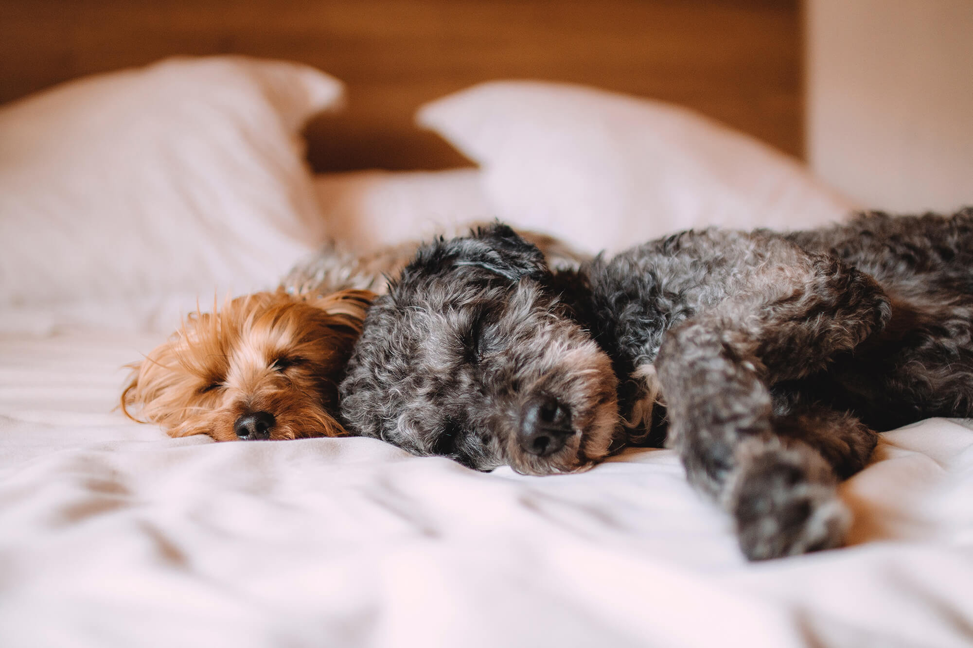 Two puppies nap on a bed