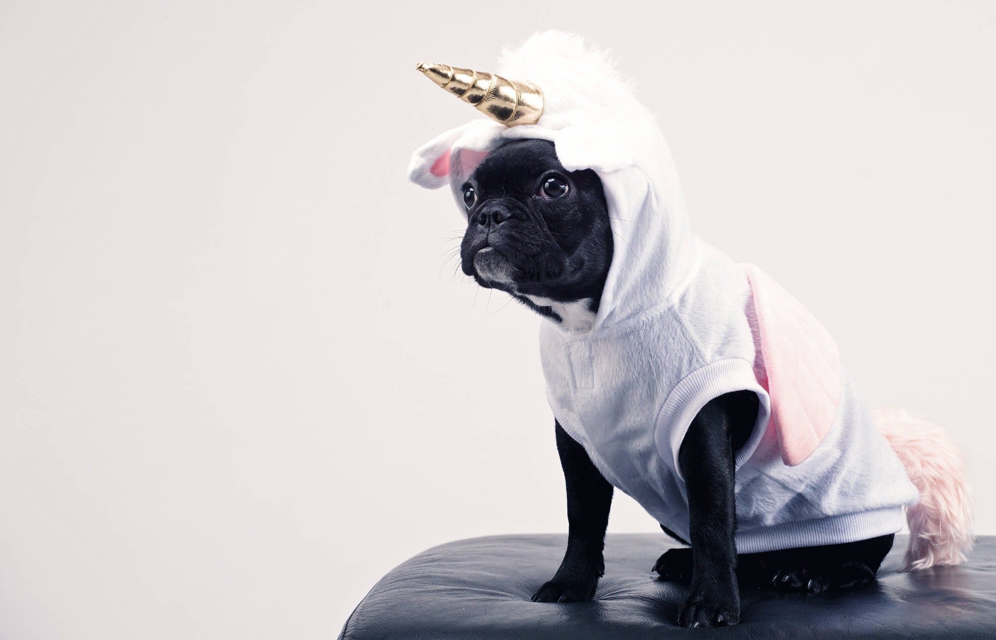 Boston Terrier in unicorn outfit.