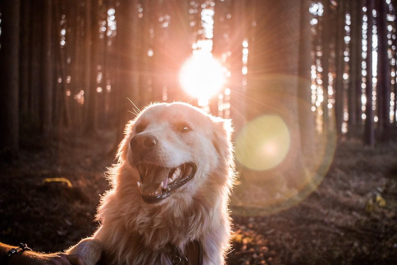 golden retriever dog panting
