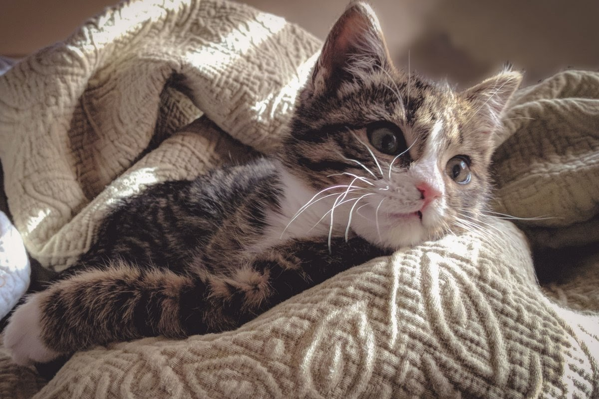 A kitten looks off into the distance while laying on a blanket.
