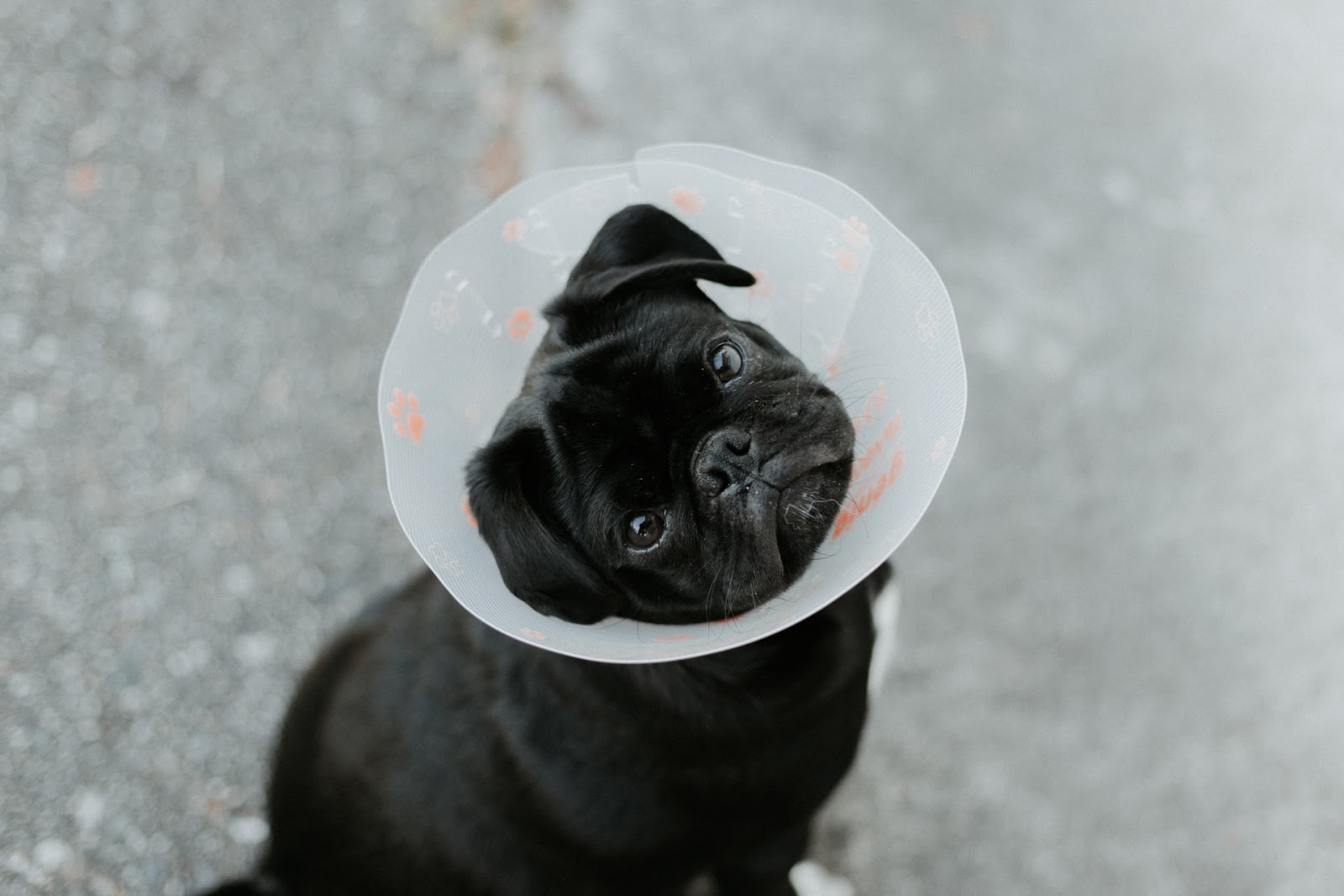 A small black dog staring up with a cone on its head