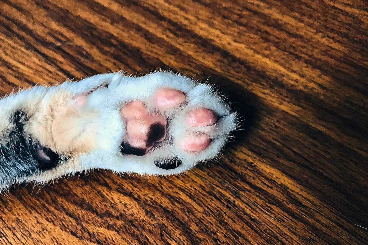 Cat foot with nails that are neat and trim to avoid tears