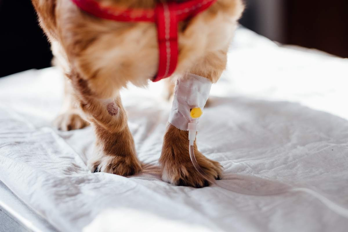 Close up photograph of a dog's paws with an IV line in one arm
