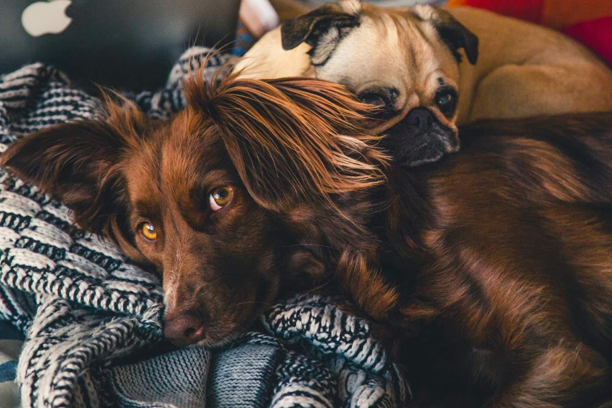 Cute brown dog with big fluffy ears with a smaller dog curled up resting his head on him