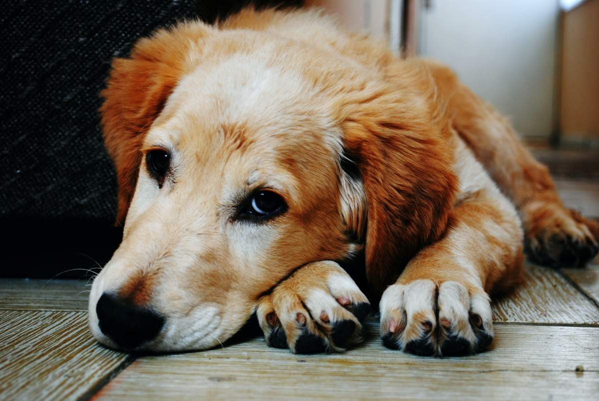 Golden retriever laying down looking at the camera with their face laying on top of their paws.