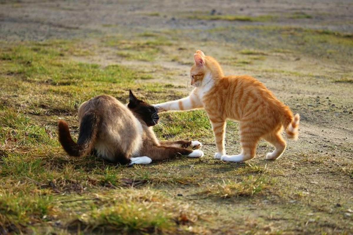 Cats fighting in a field