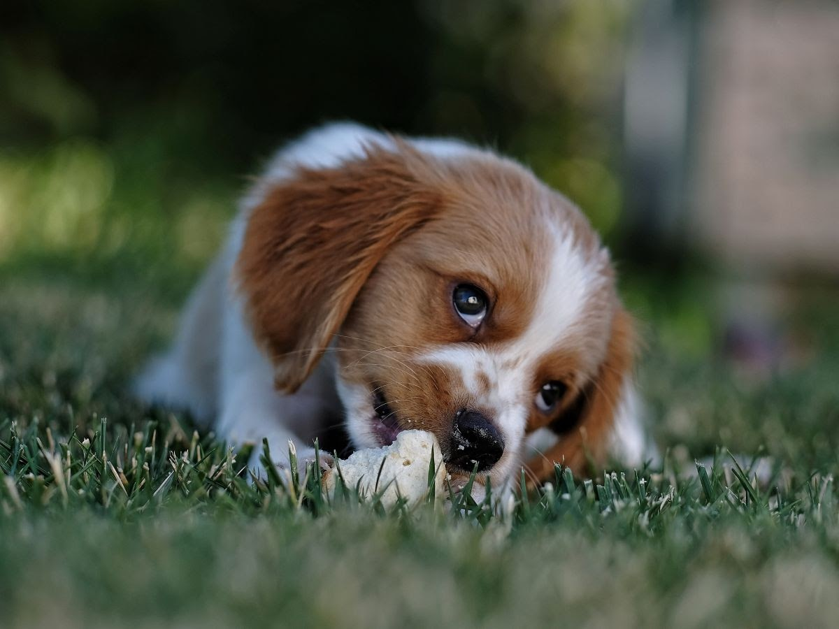 A small dog laying down in the grass chewing on a dog biscuit