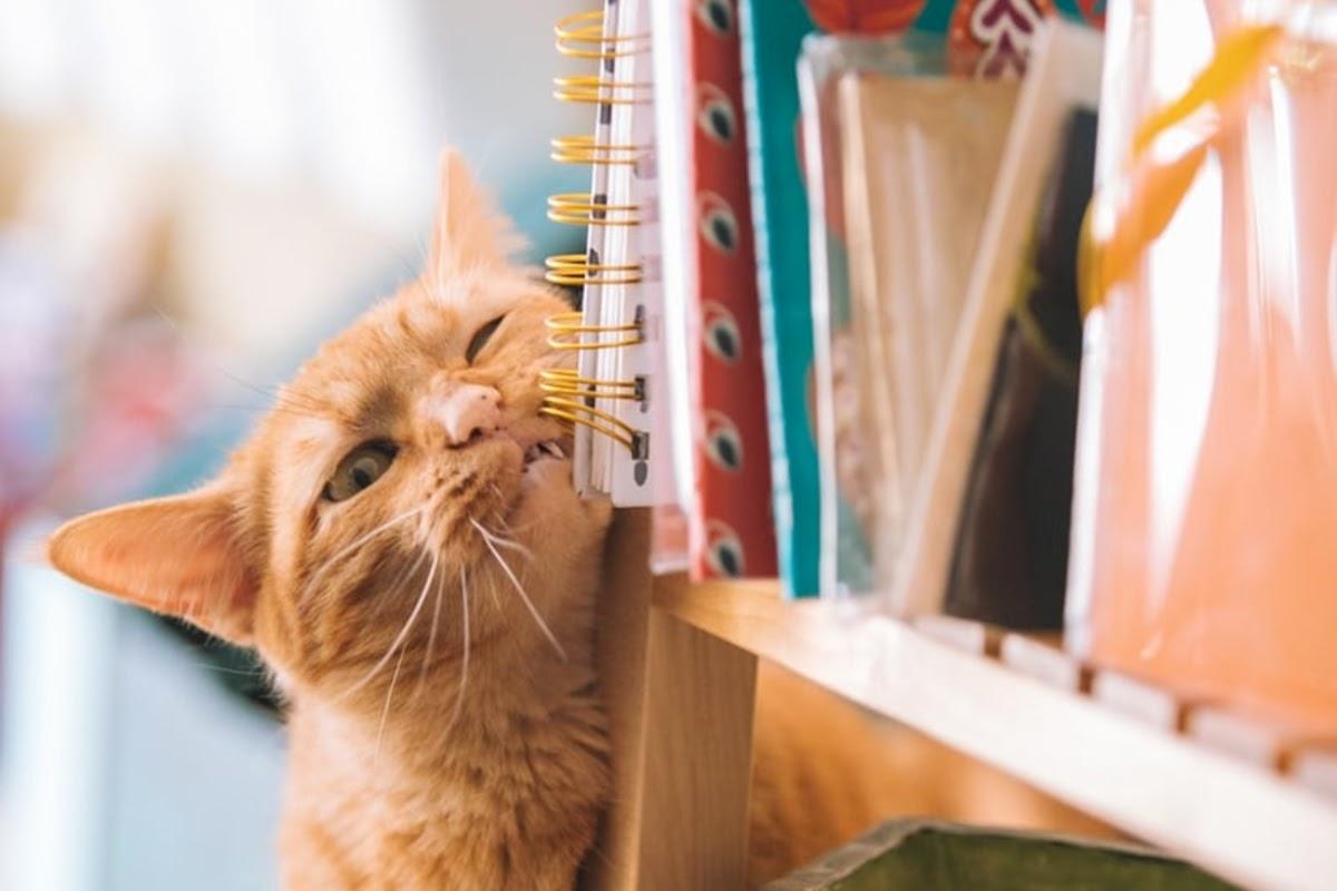 Cat scratching face on bookshelf