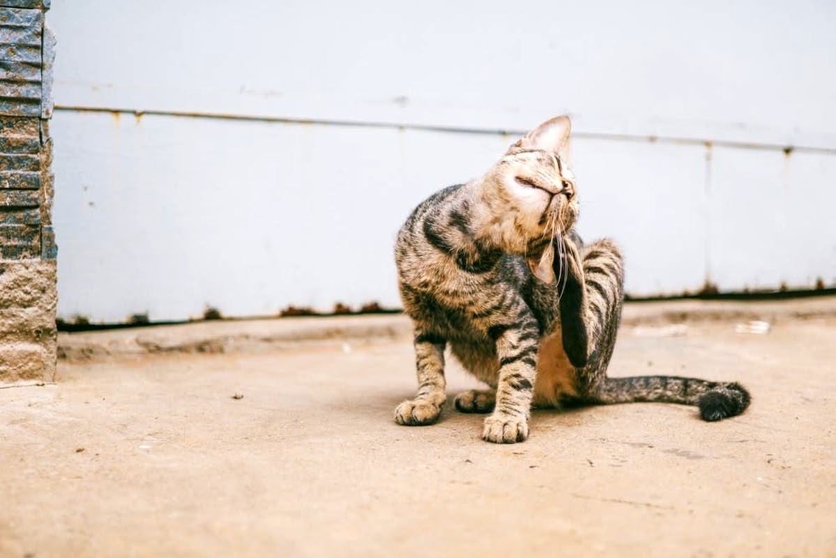 striped cat scratching behind ear