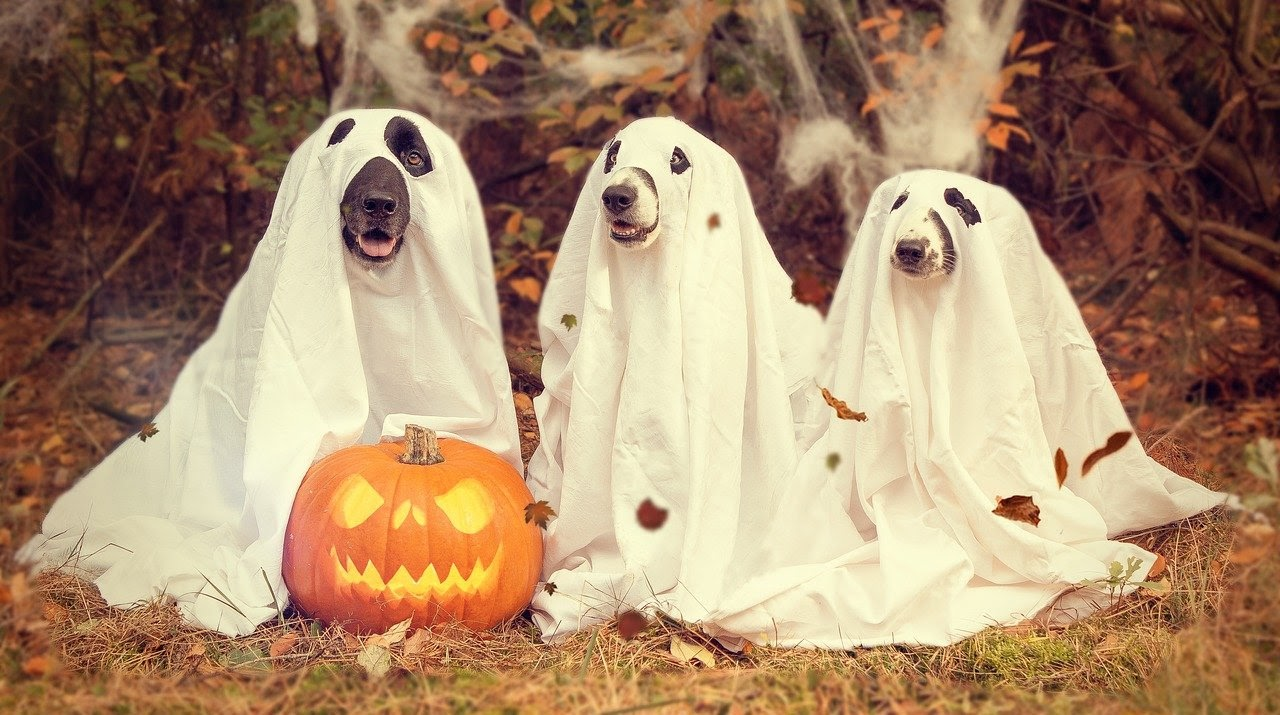 Three dogs in ghost costumes sitting in front of a spooky jack-o-lantern
