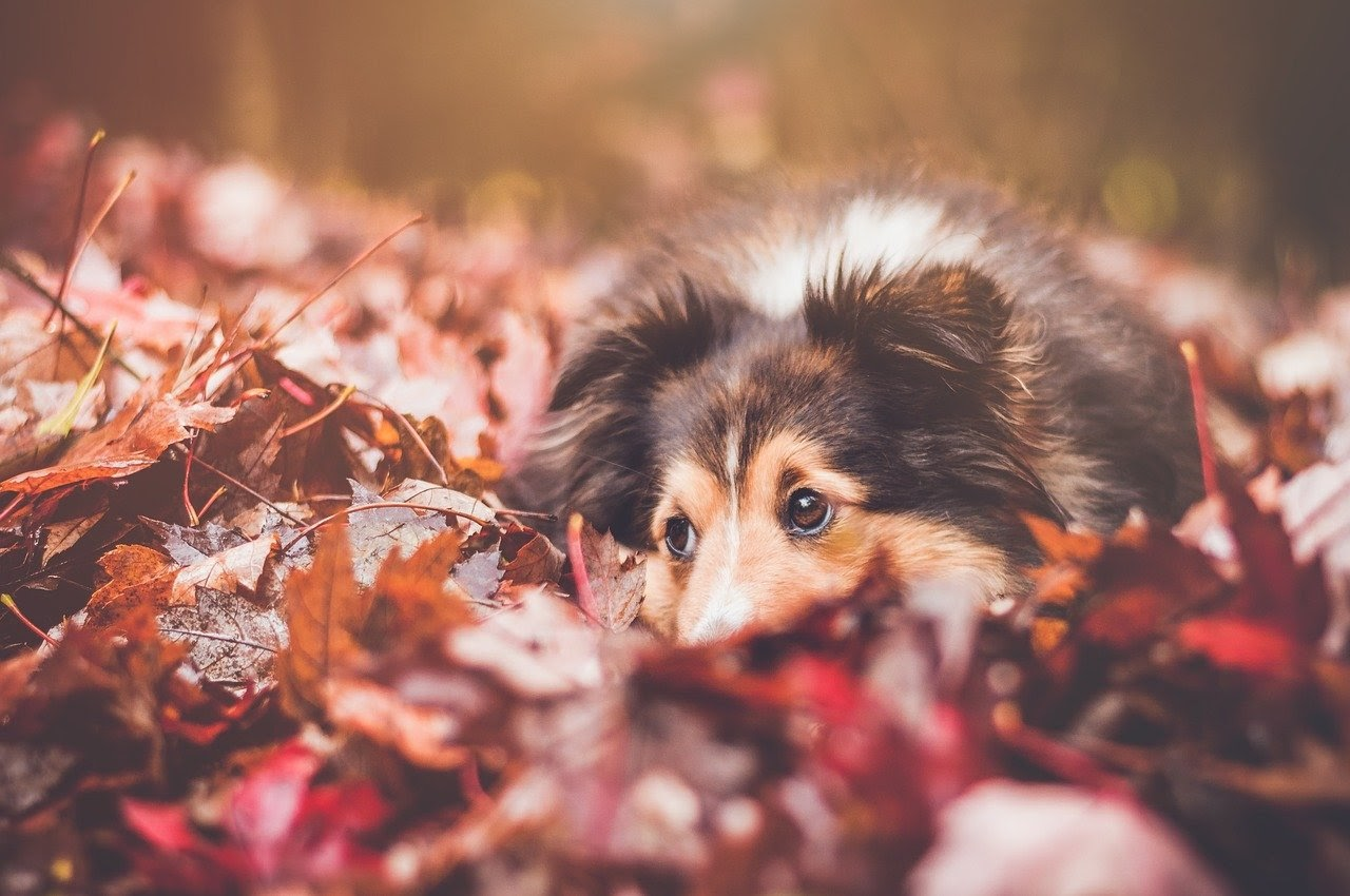 A dog resting in a pile of red and orange leaves