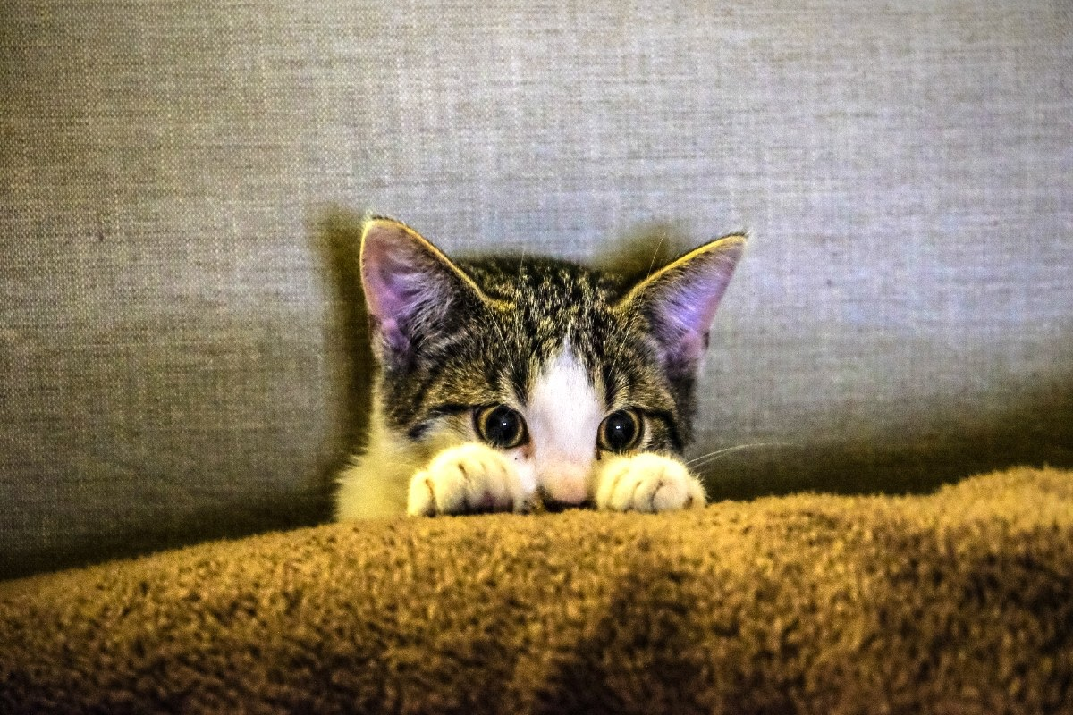cat hiding in couch