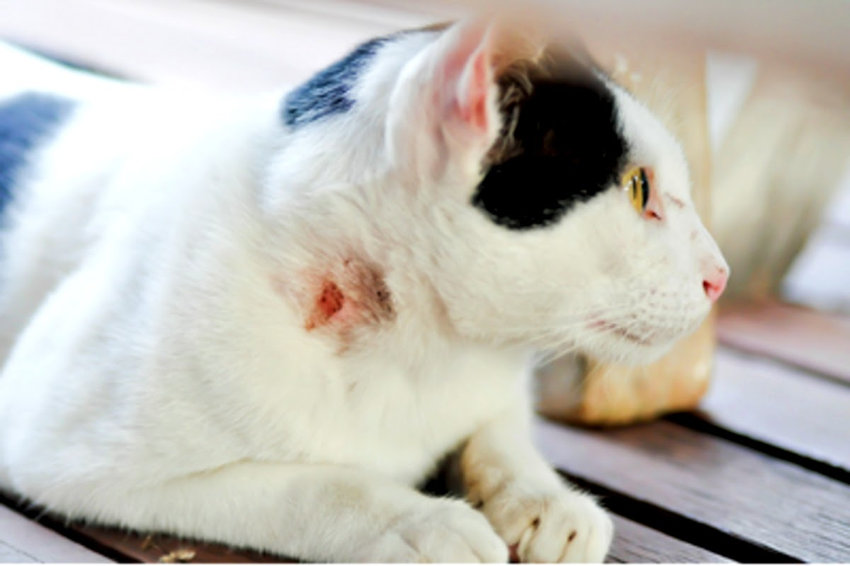 picture of a cat with a wound on its neck