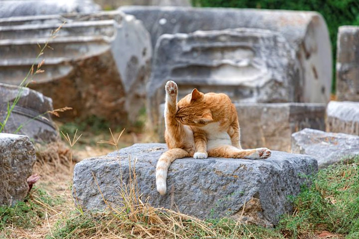 cat on a rock licking its legs