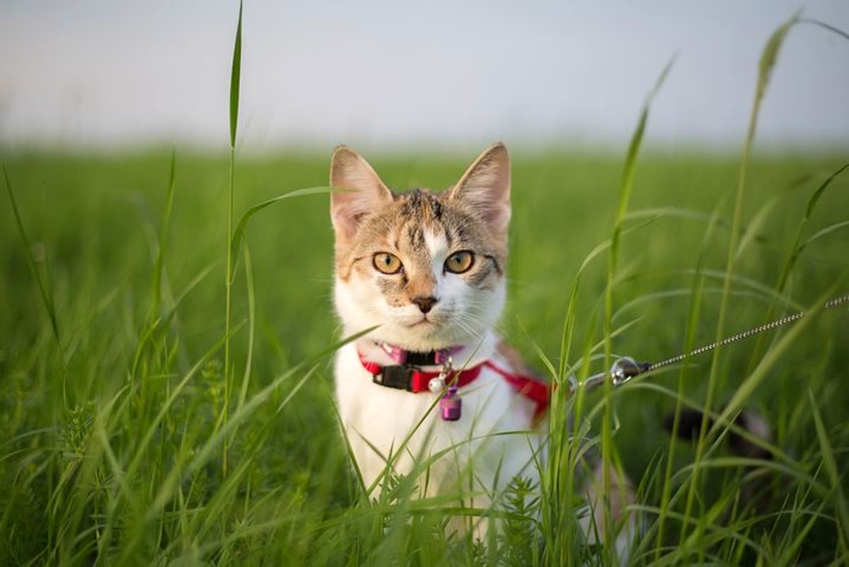 Cat on a leash on the grass