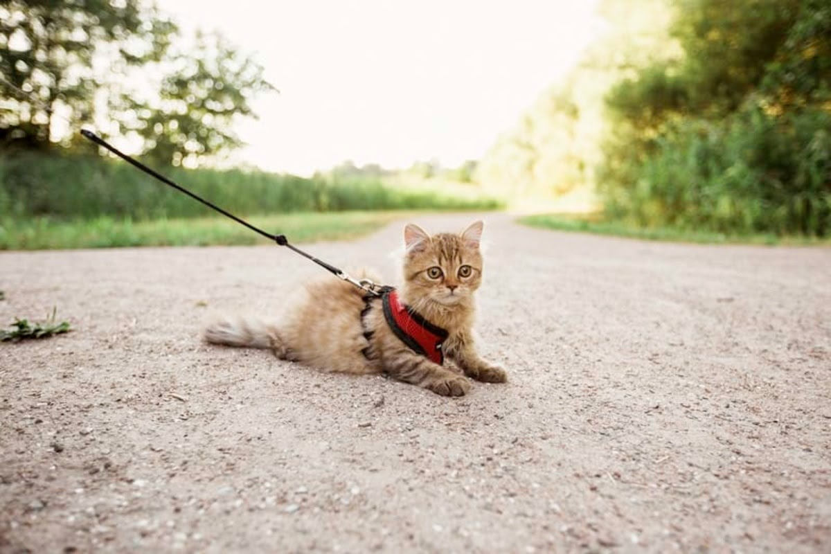 cat on a leash on a dirt road