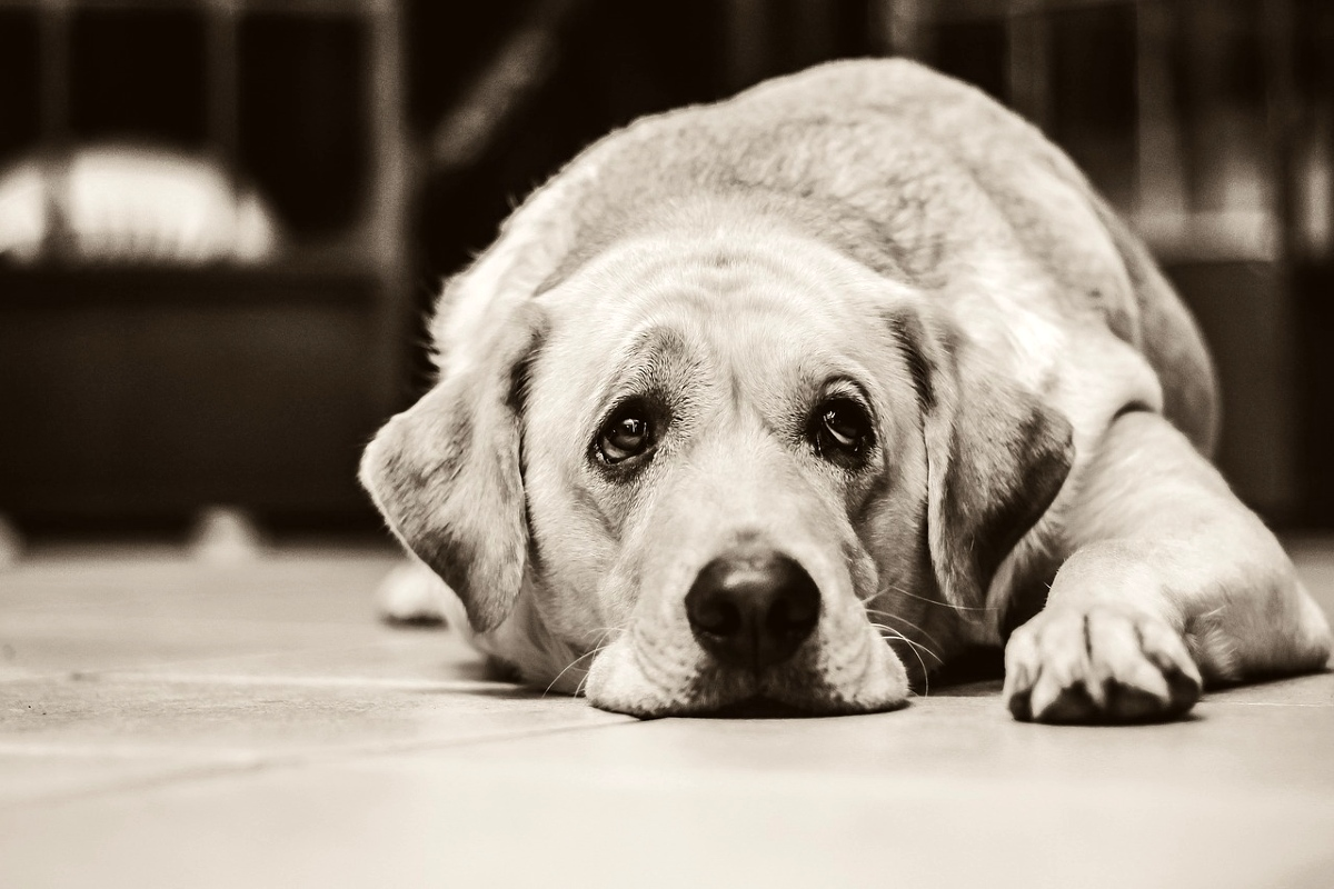 Picture of large sad dog