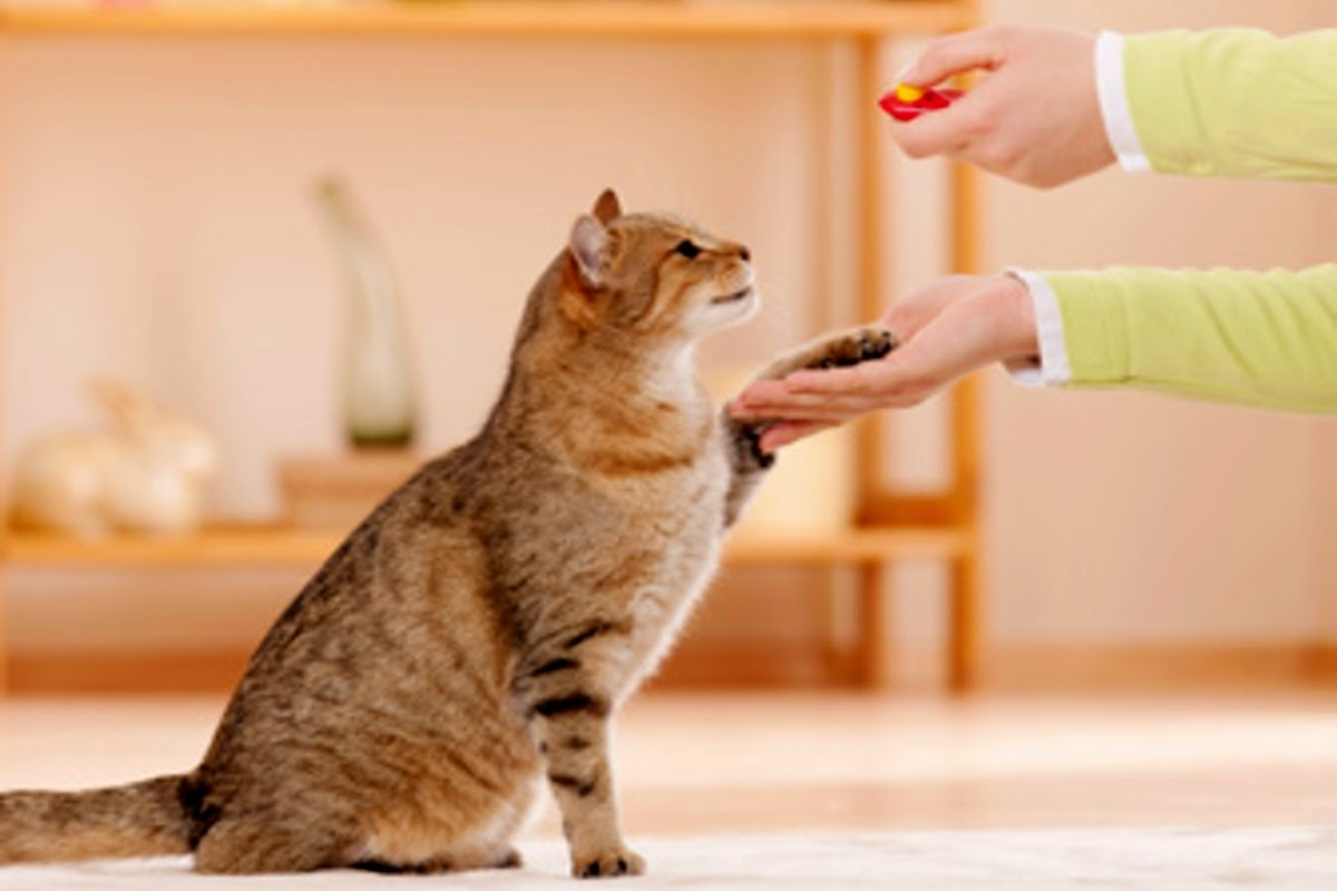 cat shaking hands for treat
